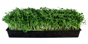 Sunflower Microgreens Tray Sprouts
