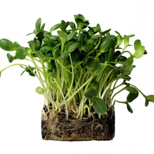 Sunflower Microgreens Perfect Foods