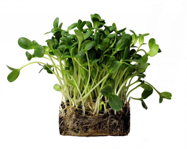Sunflower Microgreens Perfect Foods