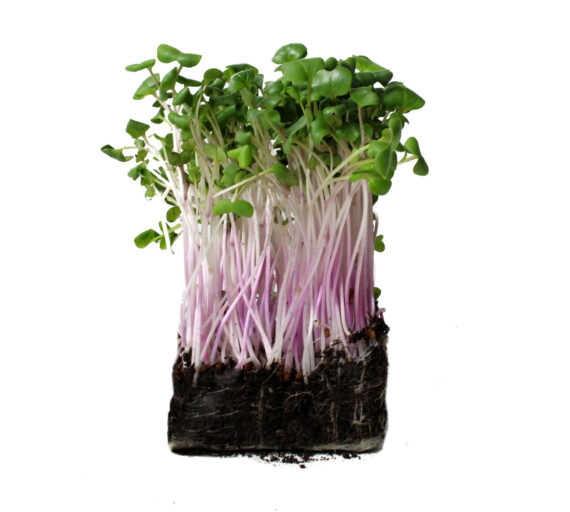 radish microgreens patch