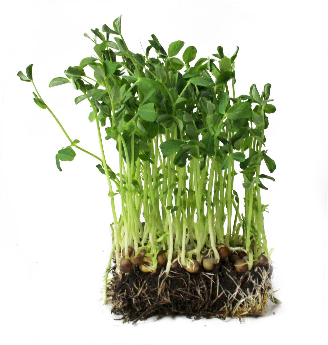 Pea Microgreens Perfect Foods