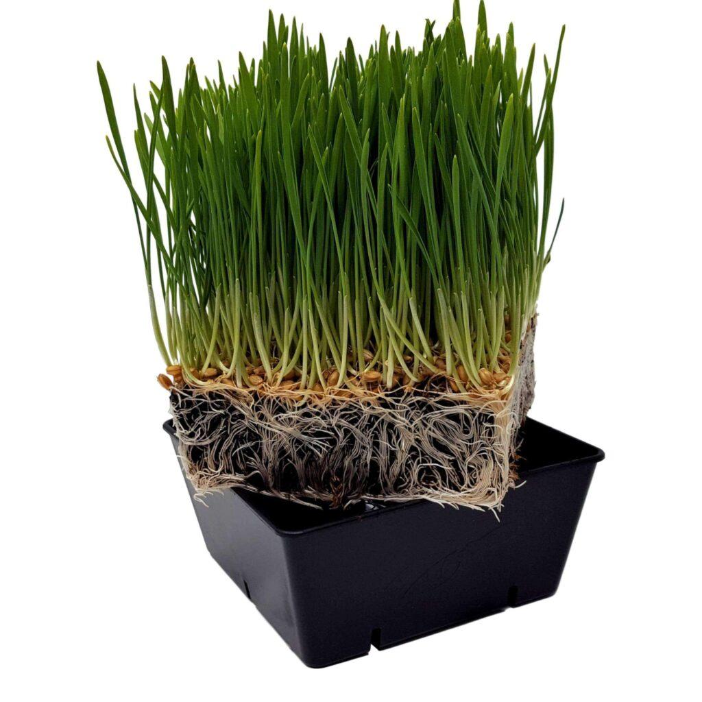 5x5 square Tray Wheatgrass 5000x